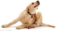הדברה נגד פרעושים וקרציות לכלבים
