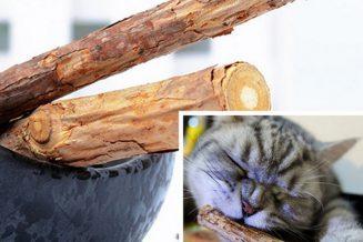 צמח המטאטאבי והשפעתו על חתולים